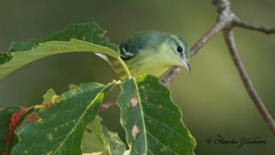 Immature Cerulean Warbler