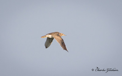 Upland Sandpiper in north Alabama