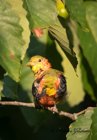 Molting male Scarlet Tanager