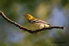 Black-throated Green Warbler on Monte Sano