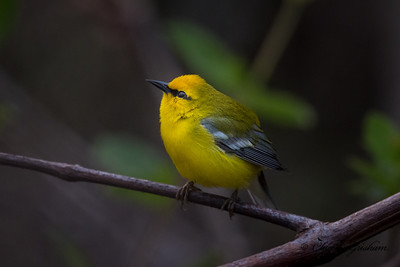 Blue-winged Warbler on Monte San