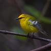 Blue-winged Warbler on Monte San