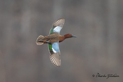 Cinnamon Teal in north Alabama (heavy crop)
