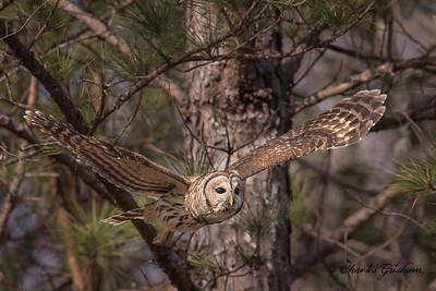 Barred Owl on our farm in Mayesville, AL