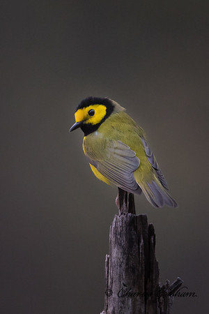Hooded Warbler on Monte Sano