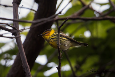 Cape May Warbler on Monte San