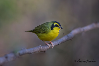 Kentucky Warbler on Monte Sano
