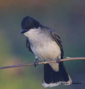 Eastern Kingbird - GPS