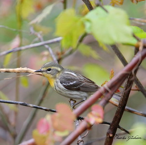 Blackburnian Warbler (female, first year)      GPS