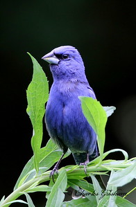 Blue Grosbeak - GPS