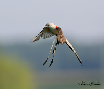Scissor-tailed Flycatcher - Winfred Thomas Research Station - GPS