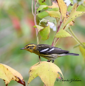 Blackburnian Warbler (adult female)