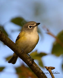 Blue-headed Vireo -GPS