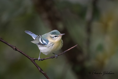 Cerulean Warbler on Monte Sano mtn.