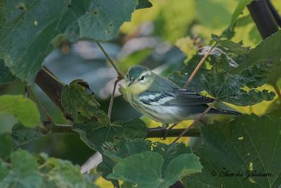 Cerulean Warbler on Monte Sano mtn. in Huntsville, AL.