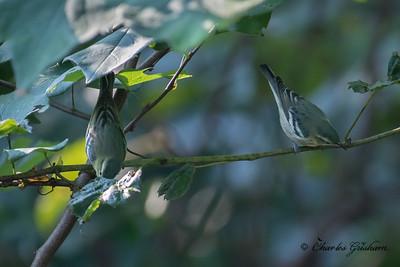 Cerulean Warblers on Monte Sano mtn. in Huntsville, AL.