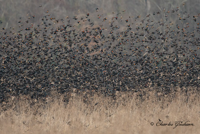 Blackbird flock at the Wheeler Wildlife Refuge