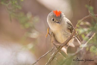 Ruby-crowned Kinglet on Monte Sano
