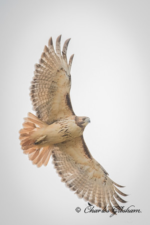 Red-tailed Hawk (was hunting the Wood Ducks), Mayesville, AL.