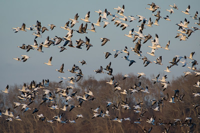 Snow Geese (prob. a few Ross's too) at Limestone Bay