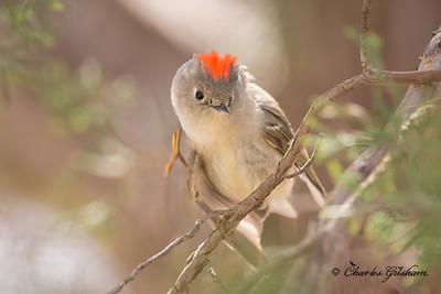 Male, Ruby-crowed Kinglet