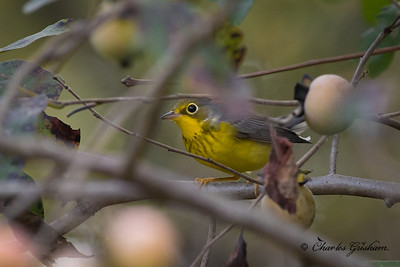 Adult, female Canada Warbler.  In Persimmon tree at Cathedral Caverns State park.