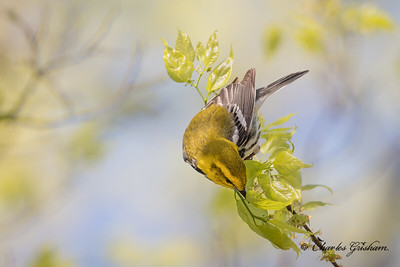 Black-throated Green Warbler on Monte Sano.