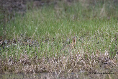 American Bittern in Hazel Green, Alabama.
