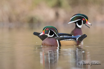 Wood Duck - Mayesville, AL.