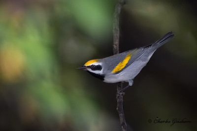 Male Golden-winged Warbler on Berry Mountain.