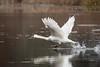 Mute Swan at Blackwell Swamp