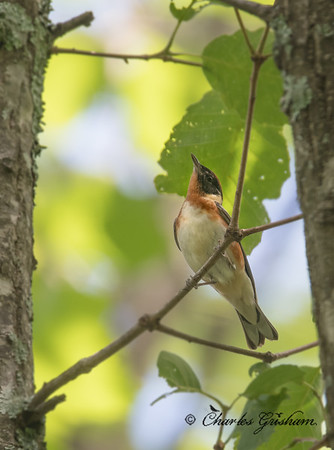 Male, Bay-breasted Warbler