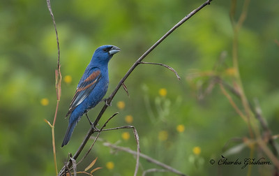 Blue Grosbeak, male, 100% crop