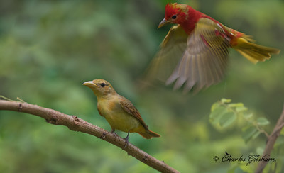 Male Summer Tanager above a female.