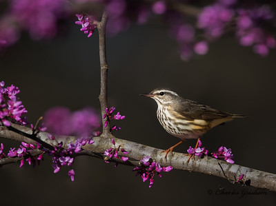 Louisiana Waterthrush.  In a Redbud Tree during sunset.