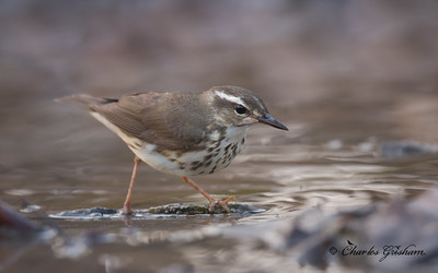 FOS Louisiana Waterthrush