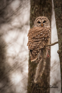 Barred Owl with a Squirrel