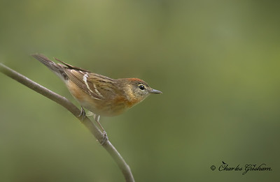 Bay-breasted Warbler (female).