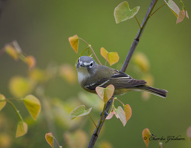 Blue-headed Vireo with lots of heart