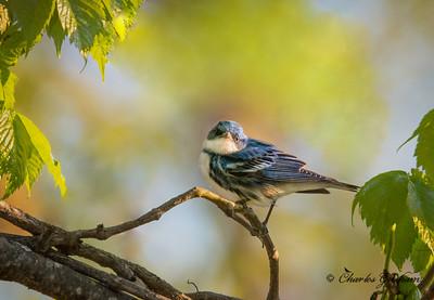 FOS Cerulean Warbler, male