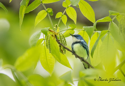 This was the first Cerulean Warbler I heard this year, April 13th, 2020.
