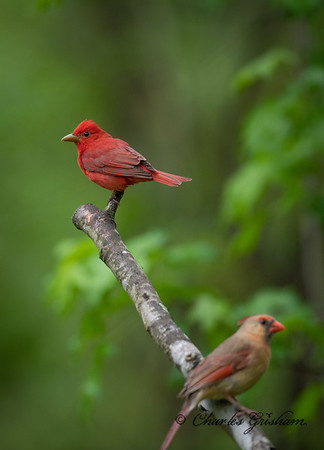 Couple of Cardinals, or is it? (-;