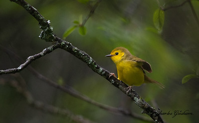 Female, first year female Hooded Warbler