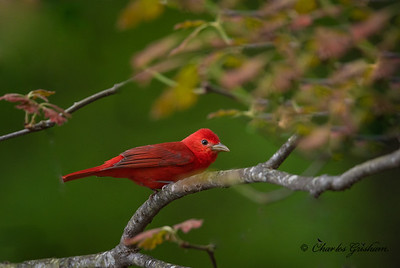 Male Summer Tanager