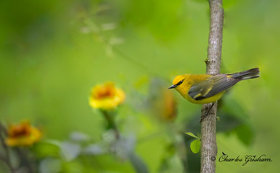 Blue-winged Warbler, possible hybrid...note the yellow wing bars.