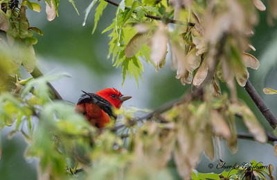 Scarlet Tanager, male