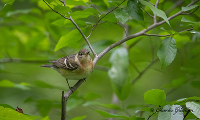 Female Bay-breasted Warbler