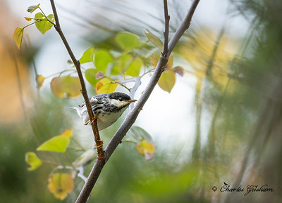 Male Backpoll Warbler