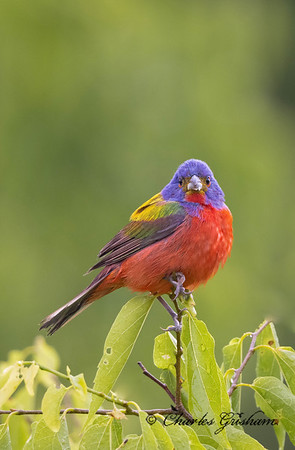 Male Painted Bunting at Swan Creek