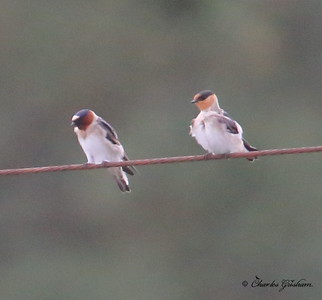 Cliff Swallow (left) & Cave Swallow (right)     6d ISO 8000   heavy crop